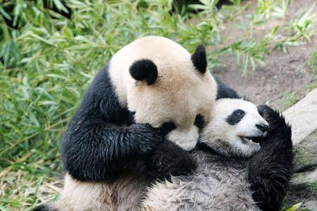 팬더 곰과 새끼 스톡 콘텐츠
