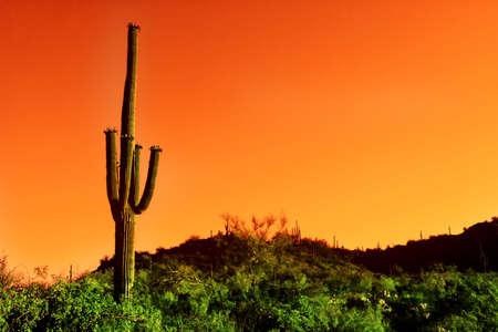 Saguaro cactus in Sonoma Desert Arizona photo