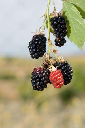 blackberry bush: Fresh organic blackberries during season