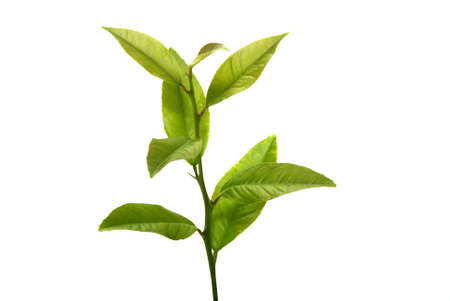 Fresh lemon leaves on isolated white background photo