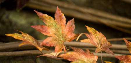 changing color: Leaves changing color during autumn Stock Photo
