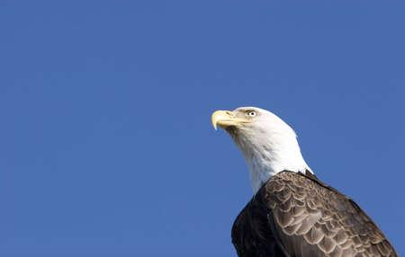 Bald eagle on blue sky photo