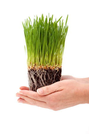 Woman's hands holding green wheatgrass