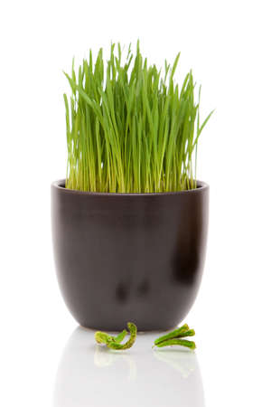 Fresh wheatgrass in a decorative pot on white background Standard-Bild