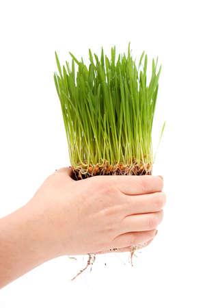 Womans hands holding green wheatgrass
