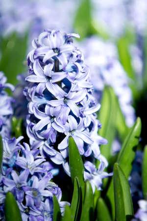 Beautiful hyacinth flowers Banco de Imagens