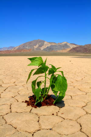 Fresh green vegetable planted in drought desert ground Stock Photo - 6928412