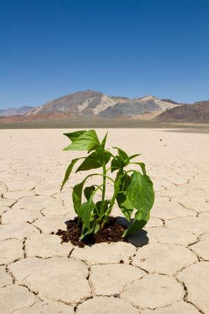 Fresh green vegetable planted in drought desert ground Stock Photo - 7263459