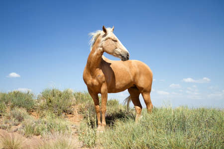 wandering: Beautiful wild  horse wandering in a field