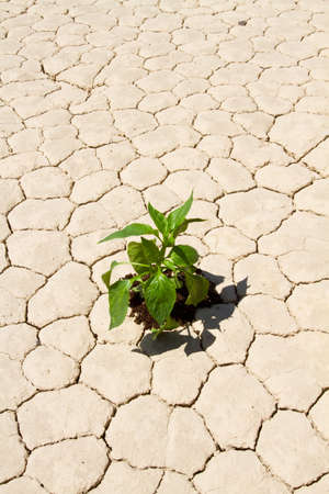 Fresh green vegetable planted in drought desert ground photo