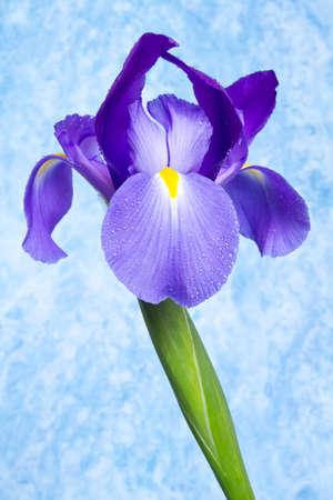 Beautiful purple color iris flower studio shot
