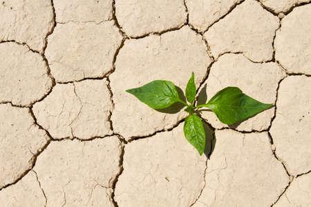 Fresh green vegetable coming to life on cracked desert ground photo