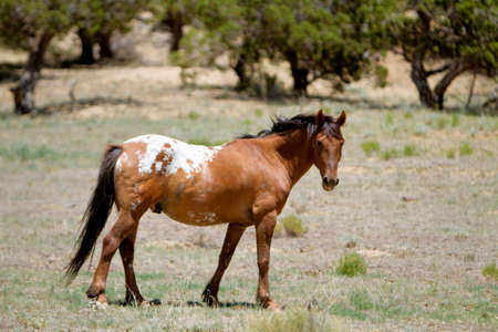 mustang horse: Wild mustang horse grazing in field Stock Photo