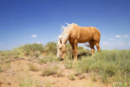 Wild mustang horse in grazing in desert