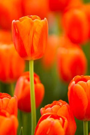 Roter Tulpenblumengarten während der Ostern-Jahreszeit Standard-Bild - 9002735