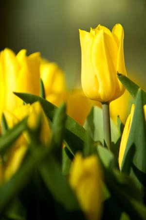 Gelbe Tulpe Blumen im Garten pflegen Standard-Bild - 9002693