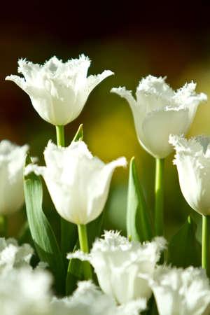 Weißen Tulpen Standard-Bild - 10271176