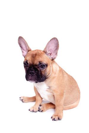 Schöne kleine französische Bulldogge Welpen auf weißem Hintergrund Standard-Bild - 10271181