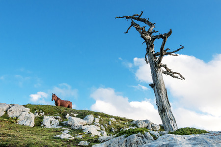 pino: Horse in the top mountain with Pino Loricato tree Stock Photo