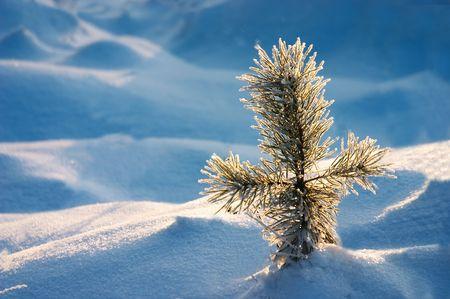 눈 언덕에 작은 소나무