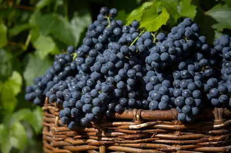 ferment: bunches of blue grape in bascket.