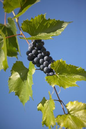bunches of blue grape with blue sky on background. Stock Photo - 562168
