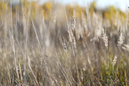 panicle: Dry grass, panicle. Autumn background close-up, with a nice blur. Photos shot in Russia. Suitable for seasonal themes.