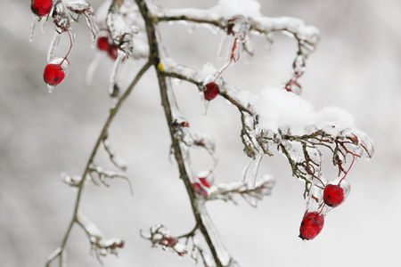 Sprig of rose hips with berries Ice-Bound after freezing rain. Suitable for illumination of the natural disasters, the winter.
