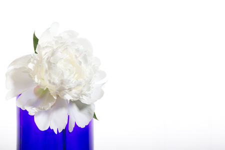 White peony in a blue vase on a white background. Isolated object, census section on the right.