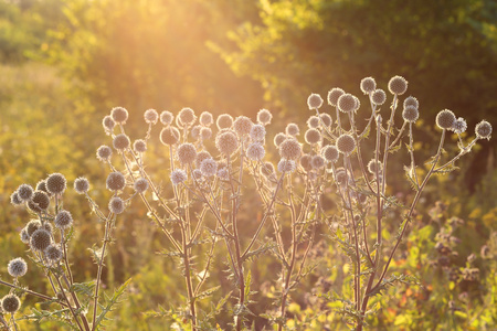 Echinops in the steppe. Photo at sunset, close-up. Beautiful highlights. Stock Photo