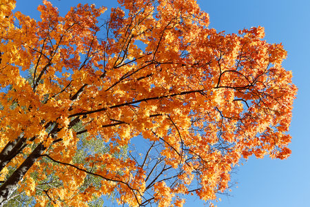 Golden autumn. Maple branches with orange and red foliage. 写真素材