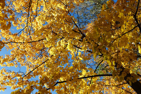Yellow autumn maple trees. The view is not the crown of the tree below.