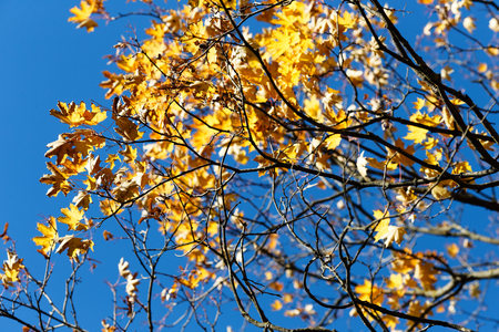 Half-naked maple branch. Falling foliage. Late, colorful autumn. October.