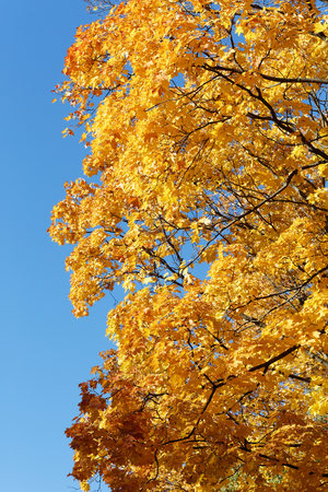 Yellow maple leaves against the sky. Autumn foliage.