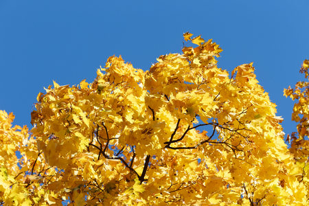 Golden autumn. Colorful maple branches close-up, against a blue sky. 写真素材