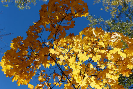 Yellow maple leaves against the sky. One branch is illuminated by the sun, and the other in the shade. Beautiful light.