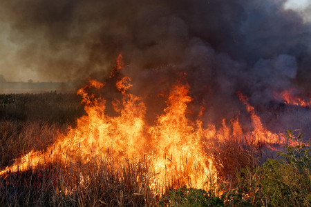 Strong fire in the swamp. Burning reed in the swamp. Natural disaster caused by man.