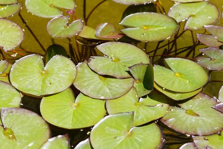 Water lily in pond. Green lily leaves close up. Without flowers. Standard-Bild - 124959768