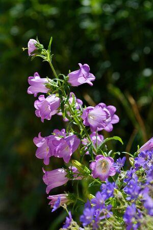 Lilac flower bell. Purple flowers in the garden. Imagens