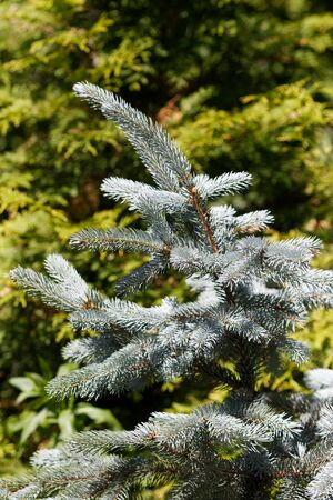A branch of blue spruce. Blurred background, place for design.