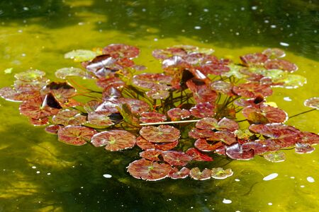Water lily in pond. The foliage is red. Without flowers. Standard-Bild - 124959774