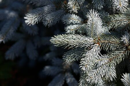 New needles on blue spruce branches. Branch closeup, blurred background. 写真素材