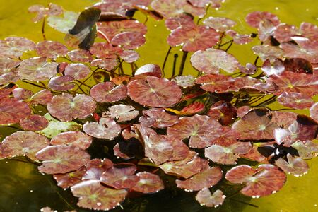 Water lily in pond. The foliage is red. Without flowers. Standard-Bild - 124959776
