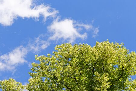 Green tree branch against the blue sky. In the sky, white oblok. Standard-Bild - 124959777