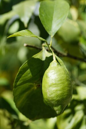 Green not ripe lemon on a branch close up.