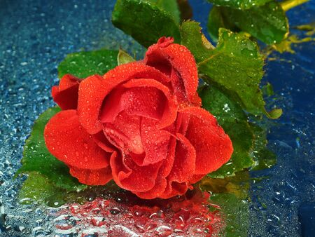 Red rose on the mirror in drops. Background blue, reflection.