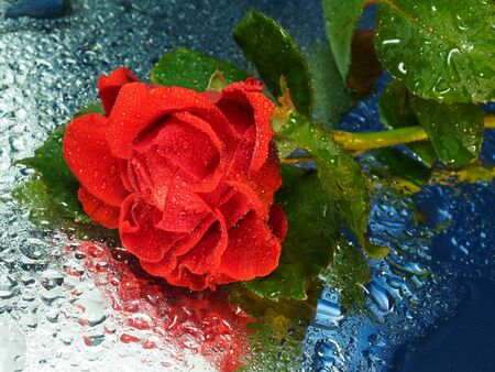 Red rose flower in drops on a glass background. Blue background. Beautiful red flower.