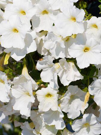 Flowers of the former petunia close-up. Beautiful petunias. Standard-Bild