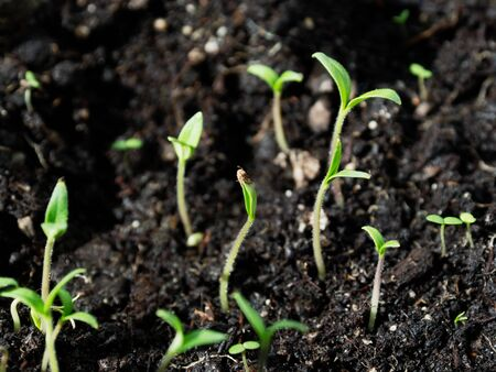 Shoots of young seedlings. Fertile soil. Young sprout of a tomato.