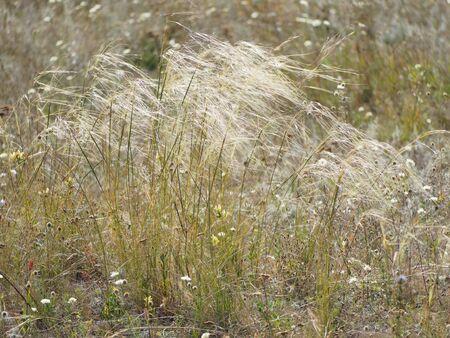 Grass Stipa. Steppe feather grass in the wind. Russia Saratov region.